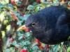 Blackbird and red berries