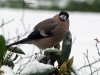 Bull Finch Eating Snow