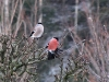 Mr. & Mrs. Bull Finch