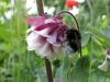 The bumblebee & the petticoat