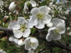 Garden cherry blossoms