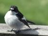 Flycatcher 1