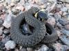 An iddy biddy snake