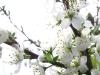 Sloe blossoms