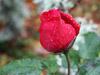 Dripping rose