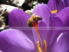 Crocus bee