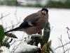 Bull Finch Eating Snow