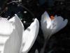 White crocuses