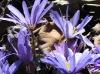 Greek Windflowers