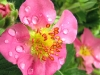 Pink strawberry flower