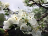 Plum tree splendour